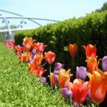 Flowers at Millennium Park